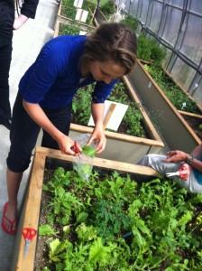 Picking greens and the Groundswell Community Garden